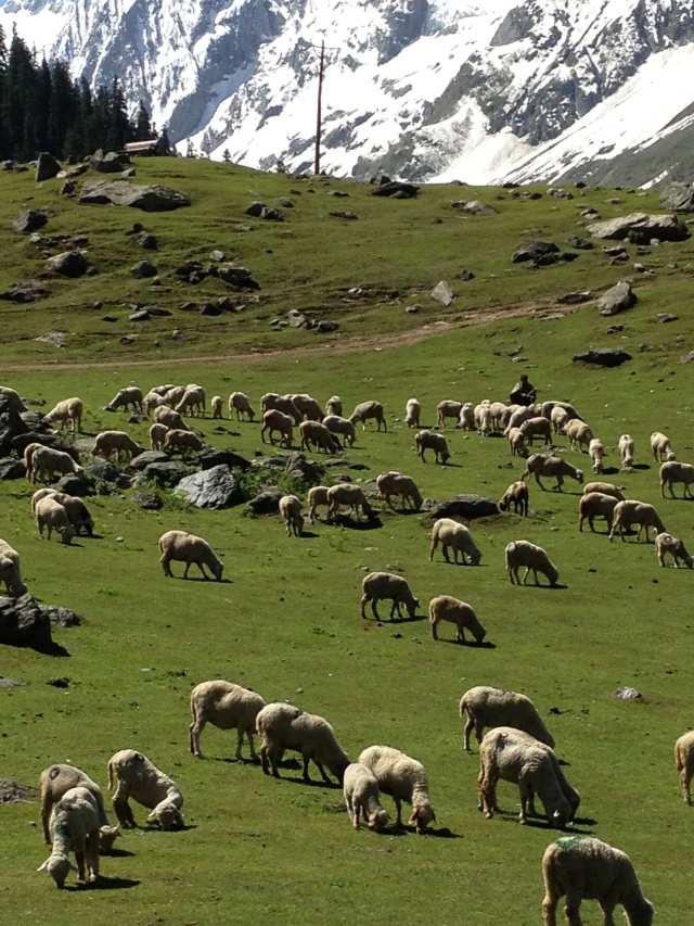 KashmirSheep