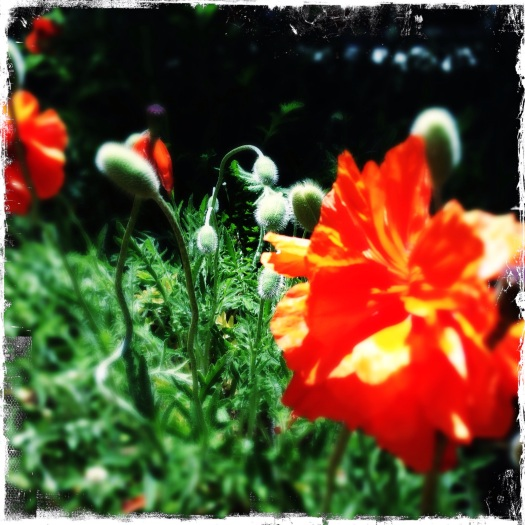 Summer Poppies come